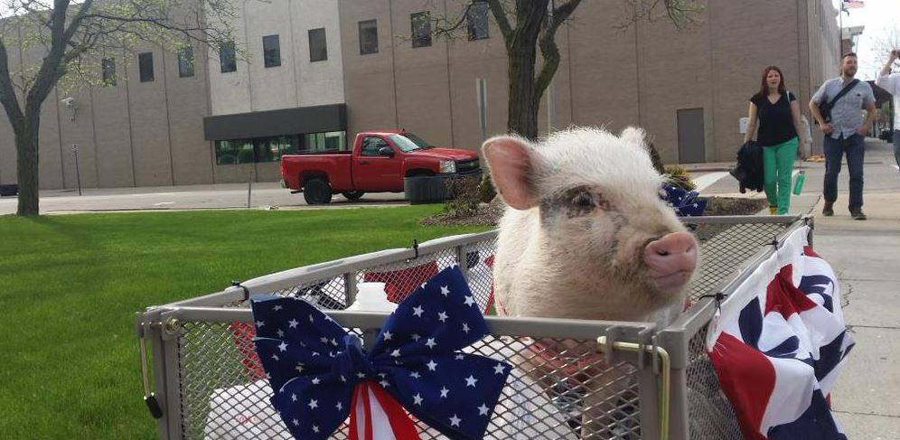 Giggles-the-Pig-for-Flint-Mayor03