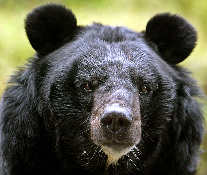 A male Himalayan black bear rests inside its open enclosure at the Padamaja Naidu Himalayan zoological park in Darjeeling, about 80 km (50 miles) from the northeastern Indian city of Siliguri October 17, 2006. REUTERS/Rupak De Chowdhuri (INDIA)